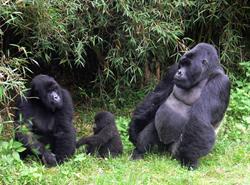 8 Days Gorilla
