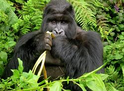 6 Days Gorilla