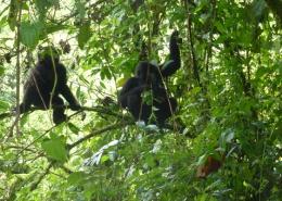 3 Days Gorilla